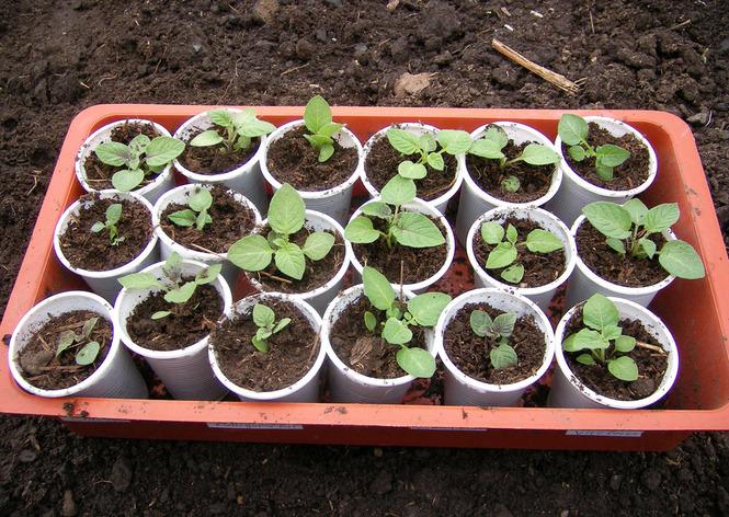 клике вырастить картофель из семян процессе